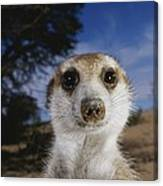 A Close View Of An Adult Meerkat Canvas Print