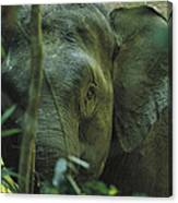 A Close View Of An Asian Elephant Canvas Print