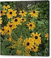 A Close View Of Black-eyed Susans Canvas Print