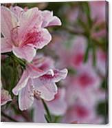 A Close View Of Pink Azalea Blossoms Canvas Print