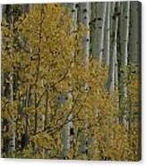 A Close View Of Quaking Aspen Trees Canvas Print