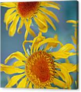 A Close View Of Two Daisies Canvas Print