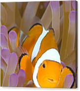 A Clown Anemonefish In A Purple Canvas Print
