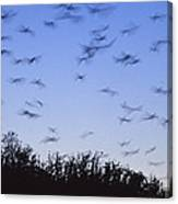A Colony Of Vulnerable Spectacled Canvas Print