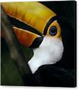 A Colorful Toco Toucans Blue Eye Canvas Print