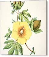 A Cotton Plant Canvas Print