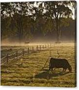 A Cow Grazing In A Field In The Early Canvas Print