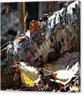 A Fallen Birch Still Claims Its Beauty Canvas Print