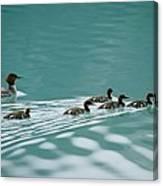 A Family Of Merganser Ducks Swim Canvas Print