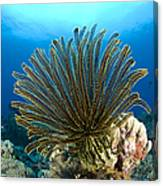 A Feather Star With Arms Extended Canvas Print