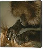 A Female Gelada, Theropithecus Gelada Canvas Print