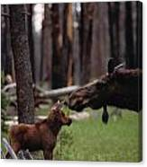 A Female Moose Nuzzles Her  Young Canvas Print
