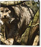 A Female Northern Lynx With Her Thick Canvas Print