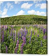 A Field Of Lupines Canvas Print