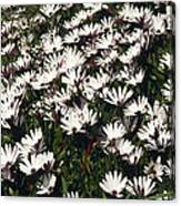 A Field Of Prolofic White Daisy Flowers Canvas Print
