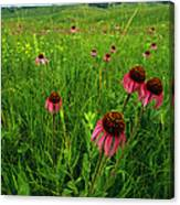 A Field Of Purple Coneflowers Canvas Print