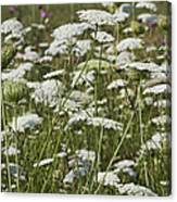 A Field Of Queen Annes Lace Canvas Print