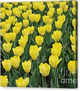 A Field Of Yellow Tulips In Spring Canvas Print