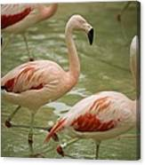 A Flock Of Chilean Flamingos Wading Canvas Print