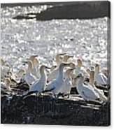 A Flock Of Gannets Standing On A Rock Canvas Print