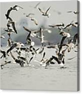 A Flock Of Laughing Gulls Larus Canvas Print