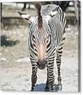 A Focused Zebra Canvas Print