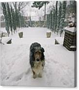 A Forlorn And Snow-dusted Sheltie Canvas Print