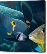 A French Angelfish Swims Up Close Canvas Print
