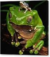 A Frog Phylomedusa Bicolor Perched Canvas Print