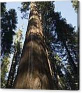 A Giant Redwood In The Mariposa Grove Canvas Print