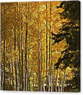 A Golden Trail Canvas Print