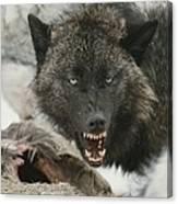 A Gray Wolf, Canis Lupus, Growls Canvas Print