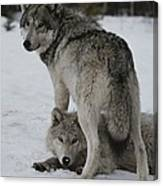 A Gray Wolf, Canis Lupus, Stands Canvas Print