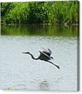 A Great Blue Heron Landing Canvas Print