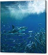 A Great White Shark Swims Close Canvas Print
