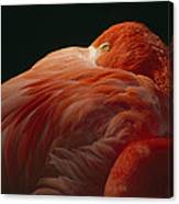 A Greater Flamingo With Its Head Canvas Print