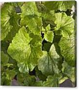 A Green Leafy Vegetable Plant After Watering In Bright Sunrise Canvas Print