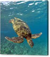 A Green Sea Turtle Diving In Clear Water Canvas Print