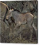 A Grevys Zebra With Young In Samburu Canvas Print