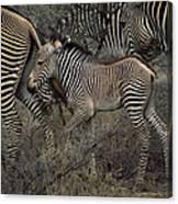 A Grevys Zebra With Young In Samburu Canvas Print
