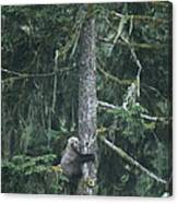 A Grizzly Bear Clings To A Fir Tree Canvas Print