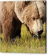 A Grizzly Bear Ursus Arctos Horribilis Canvas Print