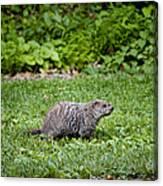 A Groundhog Marmota Monax Enjoys A Meal Canvas Print