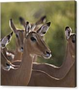 A Group Of Alert Impalas In Samburu Canvas Print