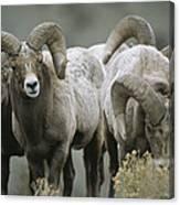 A Group Of Bighorn Sheep Rams Canvas Print