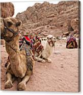 A Group Of Camels Sit Patiently Canvas Print