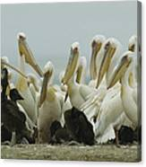 A Group Of Eastern White Pelicans Canvas Print