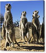 A Group Of Meerkats Standing Guard Canvas Print