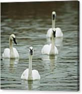 A Group Of Swans Swimming On A County Canvas Print