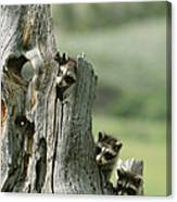 A Group Of Young Racoons Peer Canvas Print